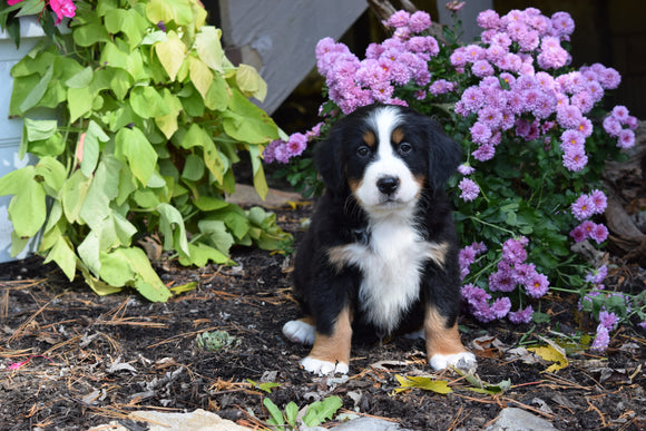 AKC Registered Bernese Mountain Puppy For Sale Millersburg Ohio Male Diesel