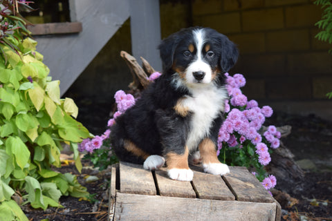 AKC Registered Bernese Mountain Puppy For Sale Millersburg Ohio Male Rambo