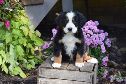 AKC Registered Bernese Mountain Puppy For Sale Millersburg Ohio Female Sadie