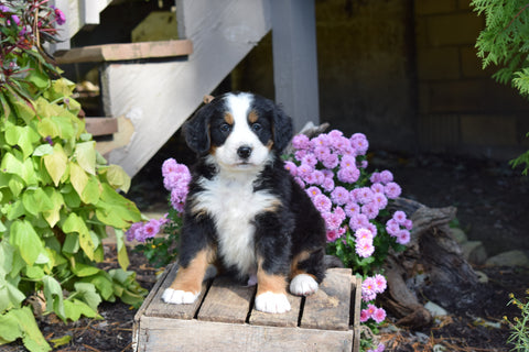 AKC Registered Bernese Mountain Puppy For Sale Millersburg Ohio Male Jake