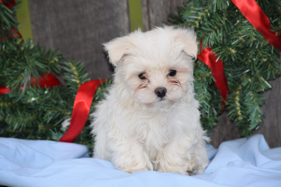 ACA Registered Maltese Puppy For Sale Male Mitch Millersburg, Ohio