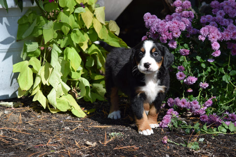 AKC Registered Bernese Mountain Puppy For Sale Millersburg Ohio Female Bella