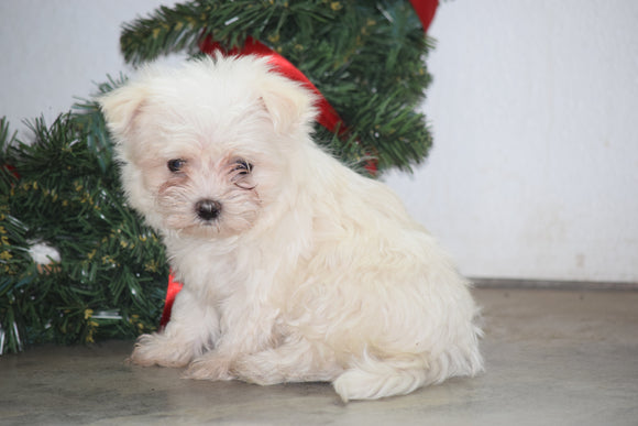 ACA Registered Maltese Puppy For Sale Male Mario Millersburg, Ohio