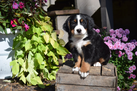 AKC Registered Bernese Mountain Puppy For Sale Millersburg Ohio Male Buster