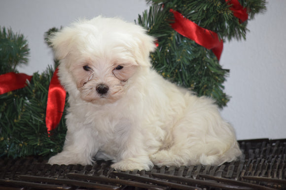 ACA Registered Maltese Puppy For Sale Male Milo Millersburg, Ohio