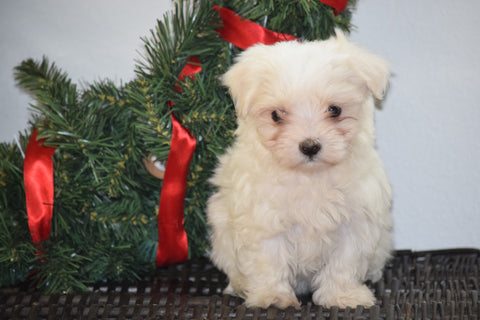 ACA Registered Maltese Puppy For Sale Female Maple Millersburg, Ohio