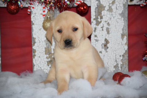 Golden Labrador Puppy For Sale Female Crissy Apple Creek, Ohio