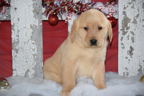Golden Labrador Puppy For Sale Female Kati Apple Creek, Ohio