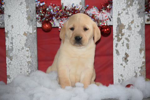 Golden Labrador Puppy For Sale Female Casey Apple Creek, Ohio