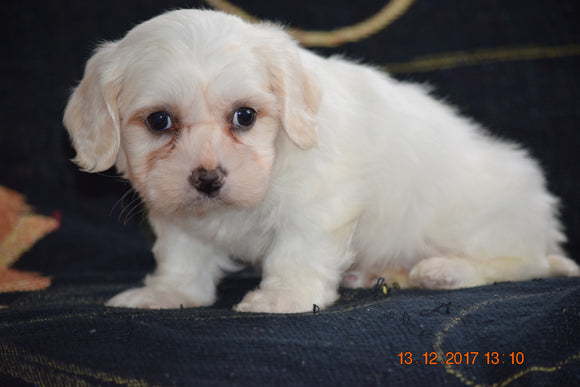 Coton de Tulear Puppy For Sale Female Crystal Apple Creek, Ohio