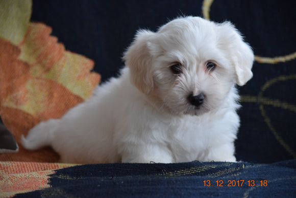 Coton de Tulear Puppy For Sale Male Corky Apple Creek, Ohio