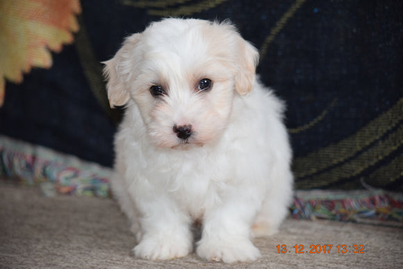 Coton de Tulear Puppy For Sale Male Clancy Apple Creek, Ohio
