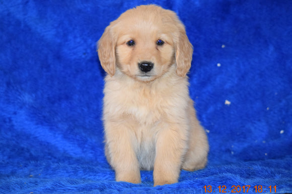 AKC Registered Golden Retriever Puppy For Sale Female Bonnie Apple Creek, Ohio