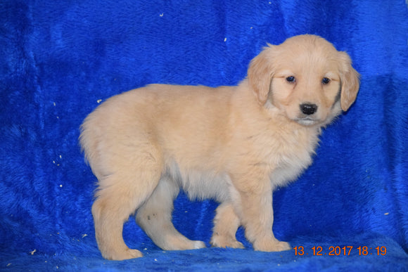 AKC Registered Golden Retriever Puppy For Sale Female Bree Apple Creek, Ohio