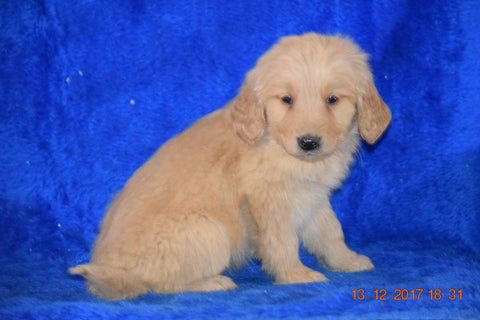 AKC Registered Golden Retriever Puppy For Sale Male Brodie Apple Creek, Ohio