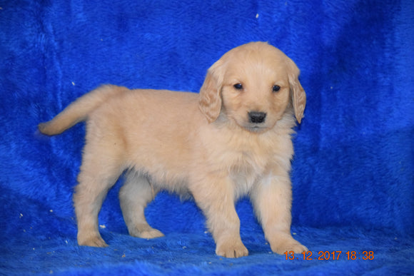 AKC Registered Golden Retriever Puppy For Sale Male Bubbles Apple Creek, Ohio