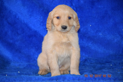 AKC Registered Golden Retriever Puppy For Sale Female Brandy Apple Creek, Ohio