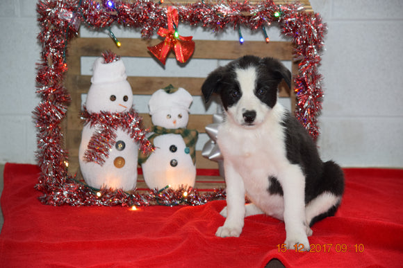 Border Collie - Norwegian Elkhound Mix Puppy For Sale Female Lucy Apple Creek, Ohio