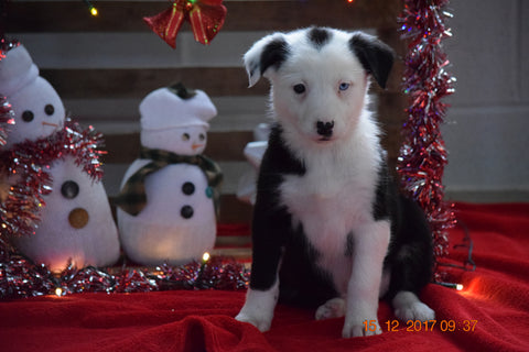 Border Collie Norwegian Elkhound Mix Puppy For Sale Female Ashley