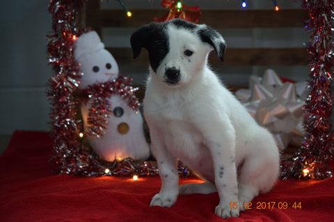 Border Collie - Norwegian Elkhound Mix Puppy For Sale Female Sally Apple Creek, Ohio