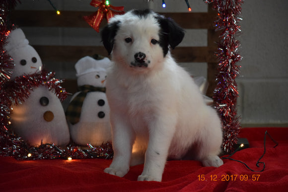 Border Collie - Norwegian Elkhound Mix Puppy For Sale Female Sophie Apple Creek, Ohio