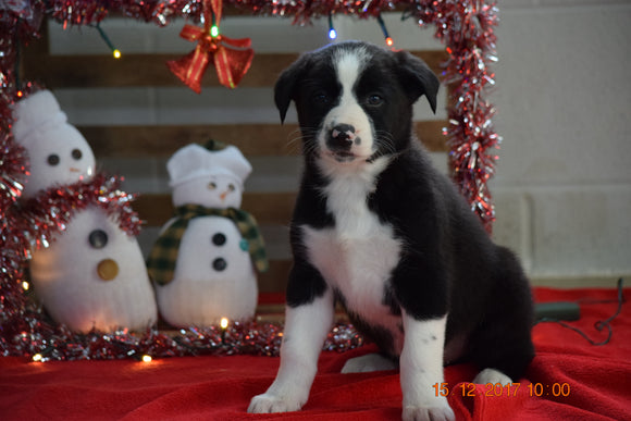Border Collie - Norwegian Elkhound Mix Puppy For Sale Male Brandon Apple Creek, Ohio