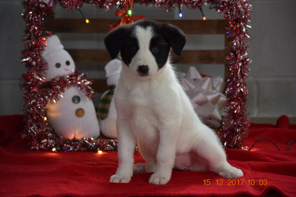 Border Collie - Norwegian Elkhound Mix Puppy For Sale Female Susie Apple Creek, Ohio