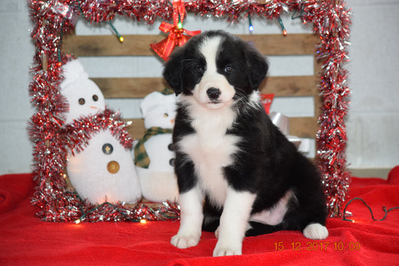 Border Collie - Norwegian Elkhound Mix Puppy For Sale Female Kari Apple Creek, Ohio