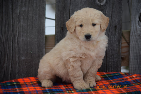 Goldendoodle Puppy For Sale Male Monty Baltic, Ohio