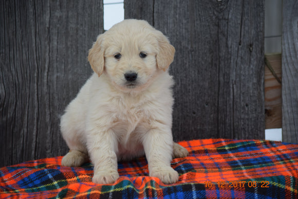 Goldendoodle Puppy For Sale Male Murray Baltic, Ohio