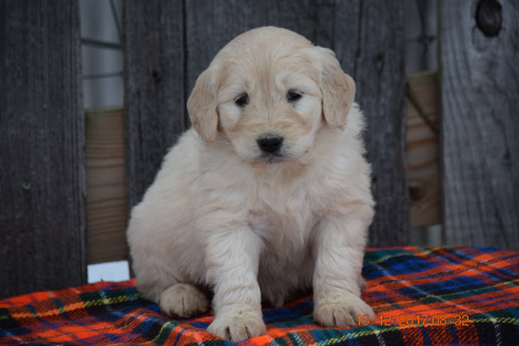 Goldendoodle Puppy For Sale Female Mabel Baltic, Ohio