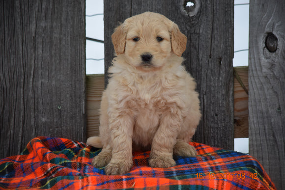 Goldendoodle Puppy For Sale Female Marcie Baltic, Ohio