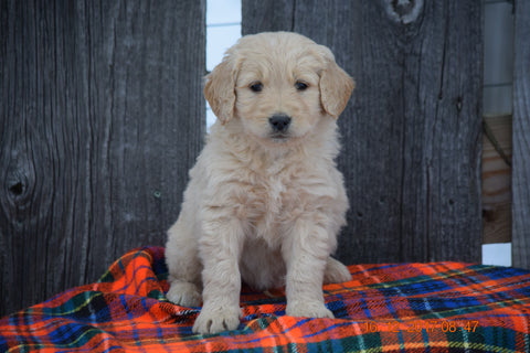 Goldendoodle Puppy For Sale Male Miles Baltic, Ohio