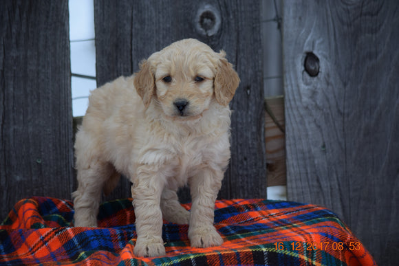Goldendoodle Puppy For Sale Female Miley Baltic, Ohio