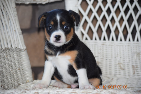 Fox Terrier - Havanese Mix Puppy For Sale Male Payton Baltic, Ohio