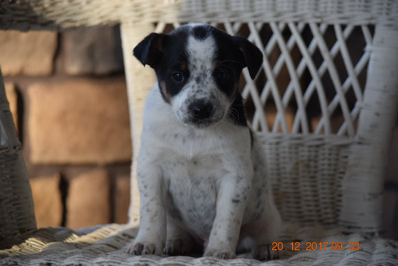 Fox Terrier - Havanese Mix Puppy For Sale Male Percy Baltic, Ohio