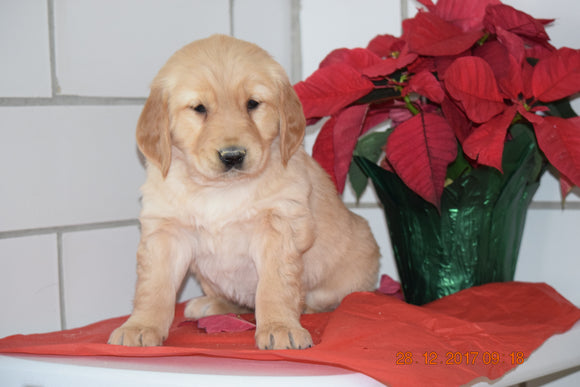 AKC Registered Golden Retriever Puppy For Sale Male Huey Millersburg, Ohio