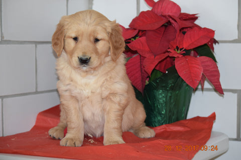 AKC Registered Golden Retriever Puppy For Sale Male Hugo Millersburg, Ohio