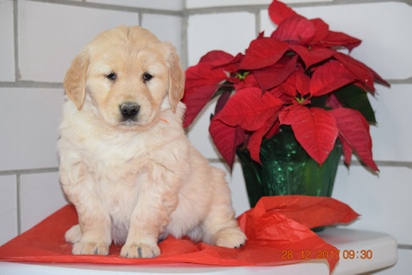 AKC Registered Golden Retriever Puppy For Sale Male Hansel Millersburg, Ohio