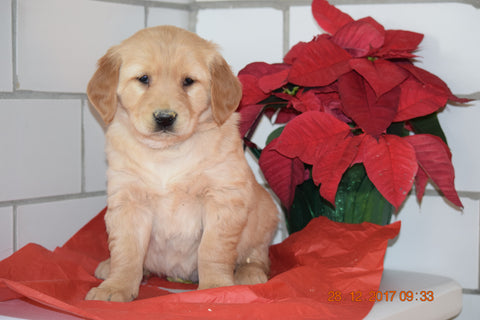 AKC Registered Golden Retriever Puppy For Sale Male Hudson Millersburg, Ohio