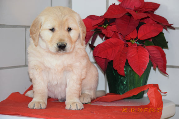 AKC Registered Golden Retriever Puppy For Sale Male Hayes Millersburg, Ohio