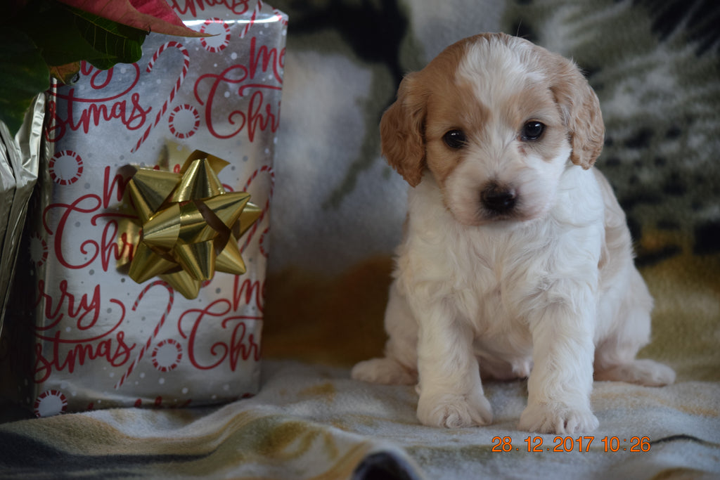 Cockapoo Puppy For Sale Female Lacey Millersburg, Ohio  Ac Puppies Llc-1951