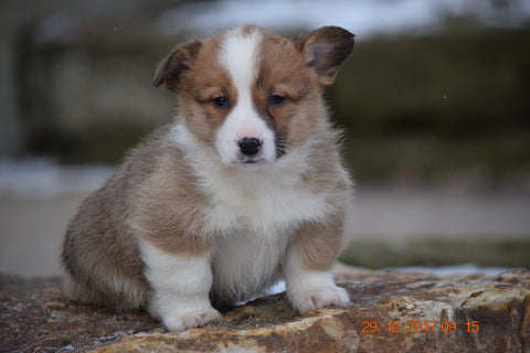 AKC Registered Pembroke Welsh Corgi Puppy For Sale Male Ronald Sugarcreek, Ohio