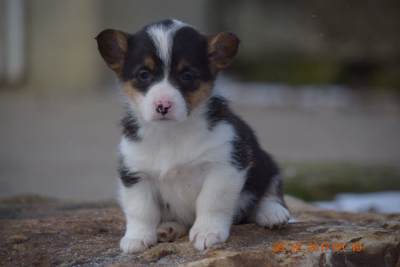 AKC Registered Pembroke Welsh Corgi Puppy For Sale Female Rosie Sugarcreek, Ohio