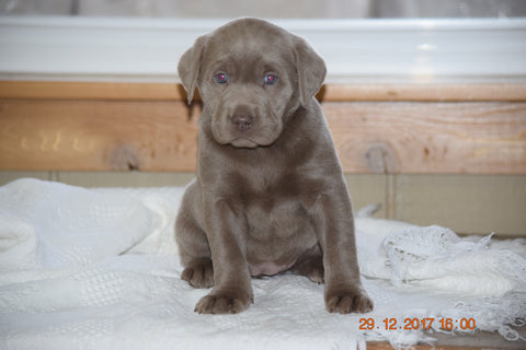 AKC Registered Silver Labrador Retriever Puppy For Sale Female Sandy Sugarcreek, Ohio