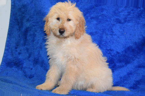 Goldendoodle Puppy For Sale Female Sarah Apple Creek, Ohio