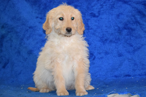 Goldendoodle Puppy For Sale Female Sally Apple Creek, Ohio