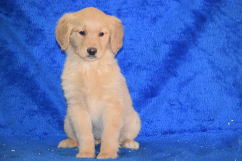 AKC Registered Golden Retriever Puppy For Sale Female Tammy Apple Creek, Ohio