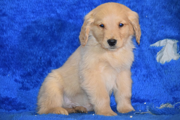 AKC Registered Golden Retriever Puppy For Sale Male Toby Apple Creek, Ohio