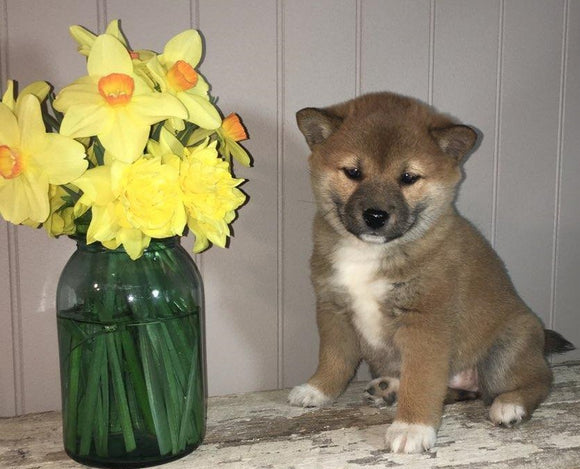 AKC Registered Shiba Inu For Sale Dundee, OH Female- Daisy